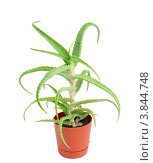 Купить «Алоэ древовидное  (Aloe arborescens)», фото № 3844748, снято 18 сентября 2012 г. (c) Галина Хорошман / Фотобанк Лори