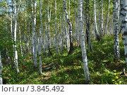 Березовый лес. Стоковое фото, фотограф Павел Танцура / Фотобанк Лори