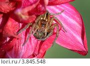 Большой паук на розовых лепестках цветка. Стоковое фото, фотограф Вячеслав Цыкун / Фотобанк Лори