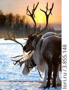 Купить «Упряжка северных оленей зимой на фоне восхода», фото № 3855148, снято 25 февраля 2012 г. (c) Владимир Мельников / Фотобанк Лори