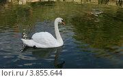Купить «Белый лебедь плавает на пруду», видеоролик № 3855644, снято 21 сентября 2012 г. (c) Елена Блохина / Фотобанк Лори