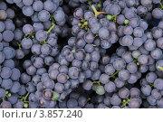 Виноград, выращенный в средней полосе. Стоковое фото, фотограф Елена Таранец / Фотобанк Лори