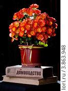 Купить «Бегония клубневидная (Begonia tuberhybrida) красно-оранжевого цвета», фото № 3863948, снято 7 июня 2012 г. (c) Ольга Денисова / Фотобанк Лори