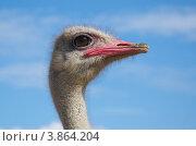 Купить «Голова страуса на фоне голубого неба», эксклюзивное фото № 3864204, снято 5 сентября 2012 г. (c) Елена Коромыслова / Фотобанк Лори