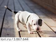 Купить «Маленький американский стаффордширский терьер», фото № 3867644, снято 19 сентября 2012 г. (c) Сергей Лаврентьев / Фотобанк Лори