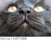 Нос черной кошки. Стоковое фото, фотограф Кравцова Наталья / Фотобанк Лори