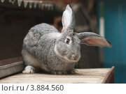 Забавный пушистый ушастый кролик, фото № 3884560, снято 13 августа 2008 г. (c) Эдуард Паравян / Фотобанк Лори