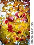 Ягоды калины. Стоковое фото, фотограф Sasha Snegireva / Фотобанк Лори