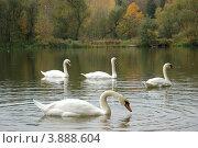 Белые лебеди в пруду. Стоковое фото, фотограф Нина М / Фотобанк Лори