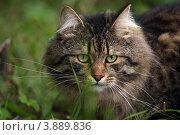 Купить «Сибирский кот», фото № 3889836, снято 11 августа 2012 г. (c) Olya&Tyoma / Фотобанк Лори