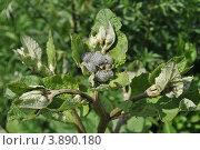 Соцветие лопуха войлочного или паутинистого (Arctium tomentosum) Стоковое фото, фотограф lana1501 / Фотобанк Лори