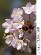 Купить «Ветка цветущей японской сакуры», фото № 3890560, снято 2 мая 2012 г. (c) Михаил Иванов / Фотобанк Лори