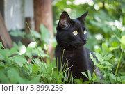Портрет черной кошки в траве. Стоковое фото, фотограф Дмитрий Ворона / Фотобанк Лори