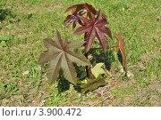 Клещевина обыкновенная (ricinus communis) Стоковое фото, фотограф lana1501 / Фотобанк Лори