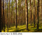 Купить «Сосновый лес», фото № 3905056, снято 19 июля 2012 г. (c) Александр Степанов / Фотобанк Лори