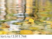 Желтые осенние листья на воде. Стоковое фото, фотограф Мария Кобылина / Фотобанк Лори