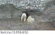 Купить «Два белых медвежонка в Московском зоопарке», видеоролик № 3916612, снято 10 октября 2012 г. (c) Вячеслав Беляев / Фотобанк Лори