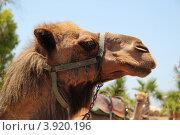 Купить «Верблюд», фото № 3920196, снято 5 июня 2012 г. (c) Хименков Николай / Фотобанк Лори