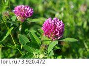 Купить «Клевер луговой (Trifolium pratense)», эксклюзивное фото № 3920472, снято 29 июня 2012 г. (c) Елена Коромыслова / Фотобанк Лори
