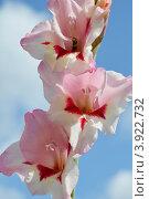 Разноцветный гладиолус и оса сидящая в цветке. Стоковое фото, фотограф Наталья Спиридонова / Фотобанк Лори