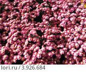 Море хризантем. Стоковое фото, фотограф Елена Верховых / Фотобанк Лори