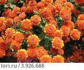 Поляна красно-желтых хризантем. Стоковое фото, фотограф Елена Верховых / Фотобанк Лори