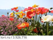 Альпийский букет. Стоковое фото, фотограф Екатерина Рыбникова / Фотобанк Лори