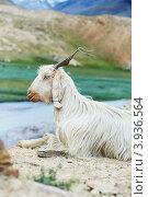 Купить «Белая горная коза с длинной шерстью на пастбище», фото № 3936564, снято 5 июля 2012 г. (c) Дмитрий Калиновский / Фотобанк Лори