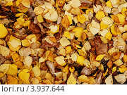 Фон из осенних желтых листьев. Стоковое фото, фотограф Андрей Новотрясов / Фотобанк Лори