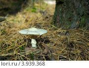 Грибы Мещеры: бледная поганка Amanita phalloides. Стоковое фото, фотограф Инна Грязнова / Фотобанк Лори