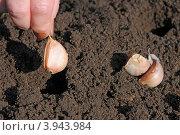 Купить «Посадка чеснока», эксклюзивное фото № 3943984, снято 14 октября 2012 г. (c) Юрий Морозов / Фотобанк Лори
