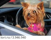 Купить «Йокширский терьер в автомобиле», эксклюзивное фото № 3946940, снято 20 октября 2012 г. (c) Юрий Морозов / Фотобанк Лори