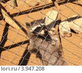 Енот в зоопарке (2012 год). Стоковое фото, фотограф Евгений Тучков / Фотобанк Лори