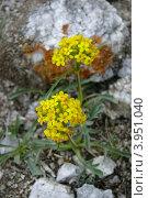 Патриния скальная (Patrinia rupestris, Valerianaceae) Стоковое фото, фотограф Алина Сысоева / Фотобанк Лори