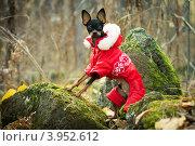 Той терьер в красной курточке (2012 год). Редакционное фото, фотограф Антон Карев / Фотобанк Лори