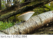 Купить «Древесный гриб трутовик», фото № 3952984, снято 21 октября 2012 г. (c) Сергей Трофименко / Фотобанк Лори