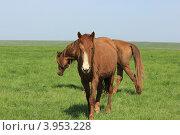 Купить «Дикие лошади на острове «Водный». Ростовский государственный природный биосферный заповедник», эксклюзивное фото № 3953228, снято 21 апреля 2012 г. (c) Rekacy / Фотобанк Лори
