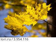Желтые кленовые листья. Стоковое фото, фотограф Друзюк Олександр Степанович / Фотобанк Лори