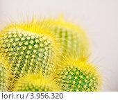 Купить «Нотокактус (Пародия) Ленигхауза (Notocactus leninghausii) крупным планом», фото № 3956320, снято 23 октября 2012 г. (c) Анна Мартынова / Фотобанк Лори