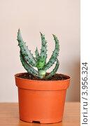 Купить «Алоэ Марлота, семейство Асфоделовые», фото № 3956324, снято 23 октября 2012 г. (c) Анна Мартынова / Фотобанк Лори