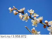 Цветущая ветка вишни. Стоковое фото, фотограф Анна Момот / Фотобанк Лори