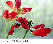 Майский хрущ (восточный- (Melolontha hippocastani)) на увядающем лепестке тюльпана, крупный план. Стоковое фото, фотограф Анна Мишина / Фотобанк Лори