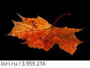 Купить «Рыжий кленовый лист на черном фоне», фото № 3959216, снято 2 октября 2011 г. (c) Олейникова Галина / Фотобанк Лори
