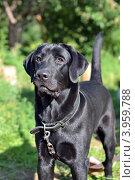 Черная собака породы лабрадор ретривер. Стоковое фото, фотограф Мария Кобылина / Фотобанк Лори