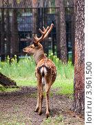Олененок в Новосибирском зоопарке. Стоковое фото, фотограф Виктор Храмов / Фотобанк Лори