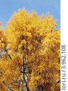 Лиственница поздней осенью. Стоковое фото, фотограф Igor5 / Фотобанк Лори