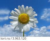 Купить «Нивяник обыкновенный, или Ромашка луговая (L. vulgare Lam)», эксклюзивное фото № 3963120, снято 18 июля 2012 г. (c) lana1501 / Фотобанк Лори