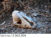 Череп животного. Стоковое фото, фотограф Ольга Ларина / Фотобанк Лори