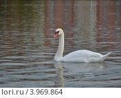 Купить «Лебедь», фото № 3969864, снято 7 сентября 2012 г. (c) Карданов Олег / Фотобанк Лори