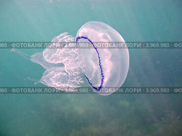 Черноморская медуза корнерот (лат. Rhizostoma pulmo)